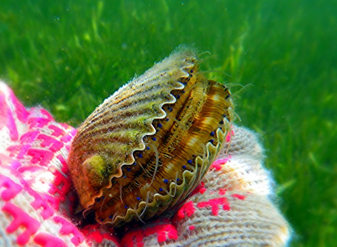 "Image: ""Scallop"" by Florida Fish and Wildlife, CC BY-ND 2.0."