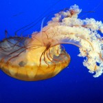 Jellyfish for dinner: Is fishing a viable solution to the increase in jellyfish blooms?