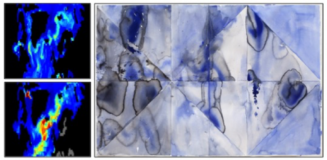 Left: Colormap image from the North Atlantic showing gradations in the variability of phenology of phytoplankton and fishes.  Credit: Rebecca Asch.  Right: Argus Peacock, watercolor on paper. Credit: Clare Asch.
