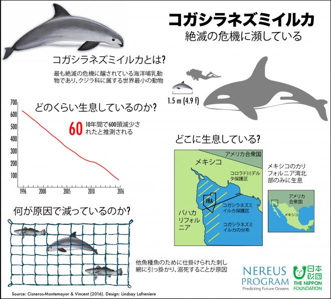 Vaquitas infographic JAPANESE