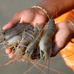 Solutions to blue carbon emissions: Shrimp cultivation, mangrove deforestation and climate change in coastal Bangladesh