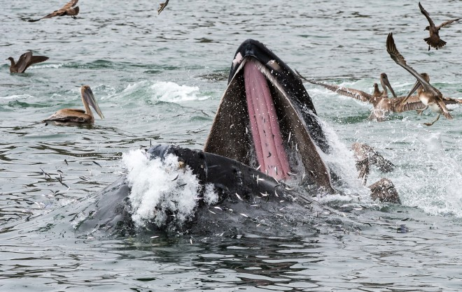 """This year's El Nino could greatly impact anchovy stocks which would have impacts on whales and sea birds. Image: """"Anchovies Trying To Escape Lunging Humpback Whale"""" by Howard Ignatius, CC BY-NC-ND 2.0."""
