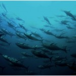 The status and future of bluefin tunas in our global ocean: The Bluefin Futures Symposium