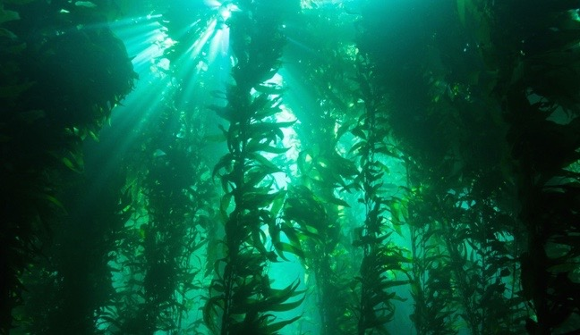 """""""Kelp Forest"""" by NOAA's National Ocean Service, CC BY 2.0"""
