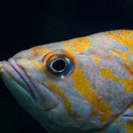 繁殖戦略とロックフィッシュ:漁業管理のための生活史の特質のフレームワーク