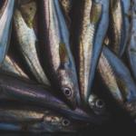 Nereus researchers investigate link between diet-shift timing and predator-prey linkages
